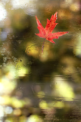 mood of autumn weather/ one maple leaves glued to the window on reverse side after a rain