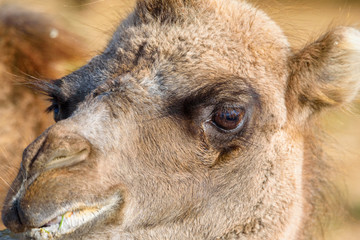 portrait of a camel close-up