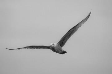 oiseau goéland en noir et blanc de face vole dans l e ciel gris
