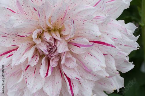 Fleur Dahlia En Couleur Blanche Et Rose En Plan Rapproche