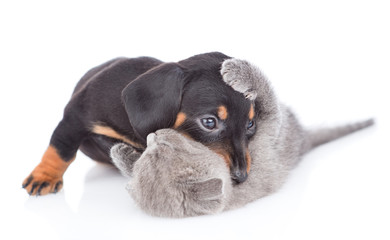 dachshund puppy playing with kitten.  isolated on white background