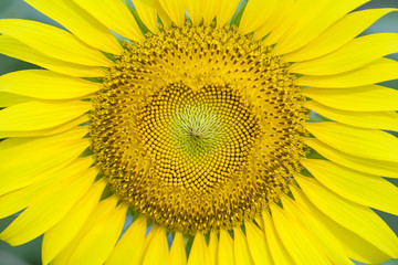 Close-up of petals and pollen of bright yellow sunflower.