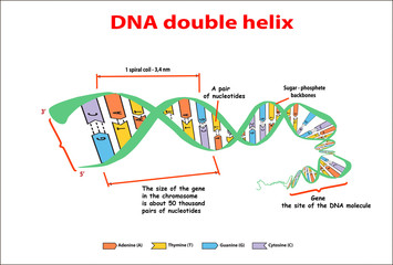 DNA structure double helix on white background. Nucleotide, Phosphate, Sugar, and bases. education vector info graphic. Adenine, Thymine, Guanine, Cytosine.