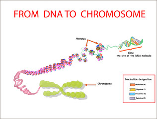 From DNA to chromosome. genome sequence. Telo mere is a repeating sequence of double-stranded DNA located at the ends of chromosomes Nucleotide, Phosphate, Sugar, and bases. education vector