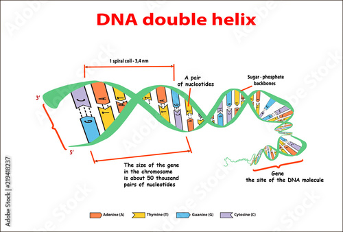 dna structure double helix on white background  nucleotide, phosphate,  sugar, and bases