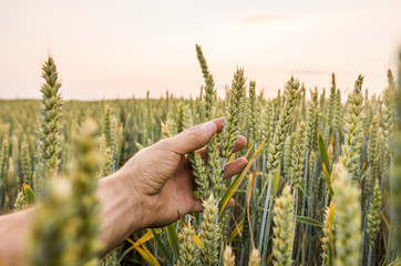 Fototapeta Close-up of man hand touching holding crops, young green wheat ears on a field in sunset. Close up on a beautiful field. Ripening ears wheat. Agriculture. Natural product. obraz