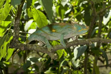 Caméléon De Parson, Calumma Parsonii, Madagascar