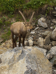 Watching alpine ibex with long horns standing on the stone