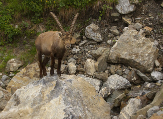 Alpine ibex with long horns standing on the stone