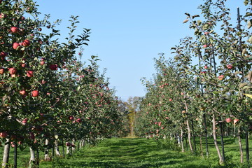 Apple in an orchard that harvested time