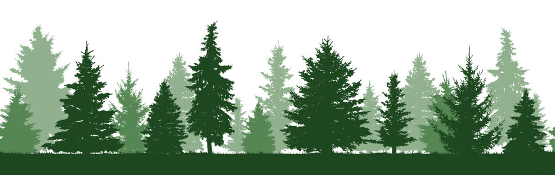 Seamless pattern of forest fir trees silhouette. Coniferous green spruce. Vector