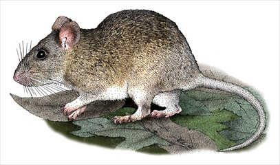 Drawing of an Allegheny Woodrat (Neotoma magister)
