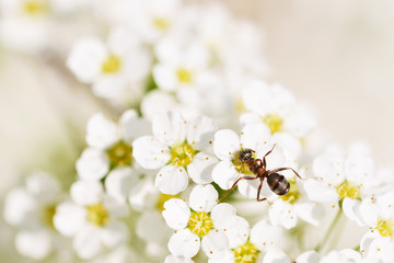 Ant searching for nectar on blooming flowers