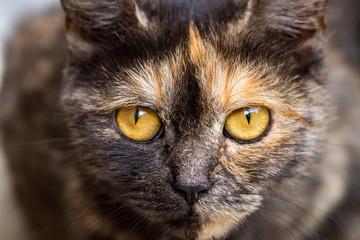domestic cat staring at the camera, close up