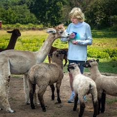 Senior woman feeding sheep and a llama on a farm