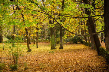 Trees throwing browned and yellowed leaves in a park