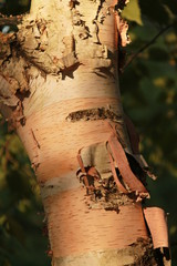 Birch tree trunk closeup