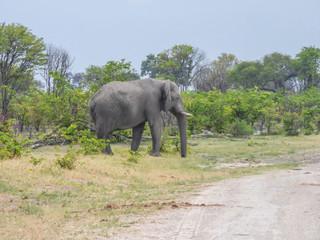 African elephants in natural habitat