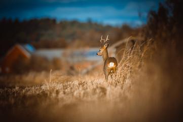 Photo sur Aluminium Roe Roe deer