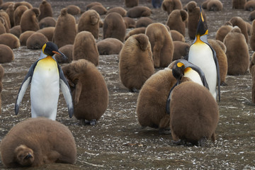 Breeding colony of King Penguins (Aptenodytes patagonicus) at Volunteer Point in the Falkland Islands. Adults and nearly full grown chicks.