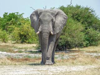 African elephant in natural habitat, Botswana