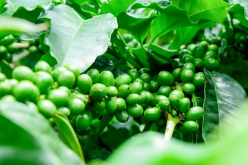 Close up of green  coffee beans on a branch of coffee tree, Branch of a coffee tree with unripe fruits