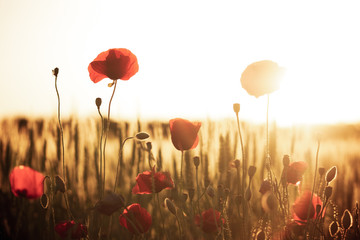 Red poppy in a green grass field with sunset light