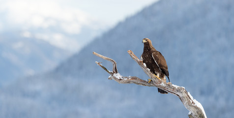 Golden eagle in tree (Aquila chrysaetos), in Telemark, Norway