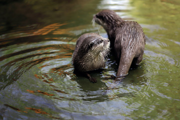 Cute couple of eurasian otters (Lutra lutra) playing in water