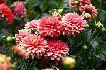 Fotorolgordijn Dahlia Pink dahlias./In a flower bed a considerable quantity of flowers dahlias with petals in various tones of pink color.