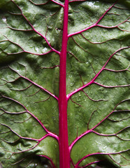 Swiss Chard Leaf