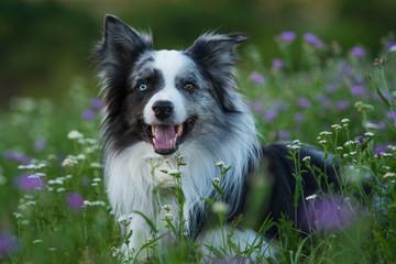 Border Collie in einer Sommerblumenwiese
