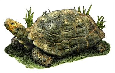 Drawing of an Asian Forest Tortoise (Manouria emys)