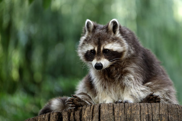 Portrait full body of lotor common raccoon on the tree trunk