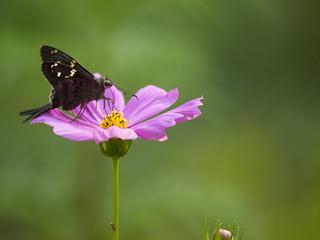 Black Butterfly Pink Flower - Macro