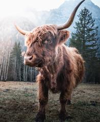 Keuken foto achterwand Schotse Hooglander Beautiful horned Highland Cattle enjoying the Sunrise on a Frozen Meadow in the Italian Dolomites