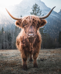Photo sur Aluminium Vache Beautiful horned Highland Cattle enjoying the Sunrise on a Frozen Meadow in the Italian Dolomites