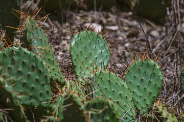 Opuntia cactus in a garden
