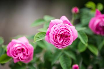 closeup of three pink roses