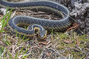 Common Garter Snake in an Agressive Pose