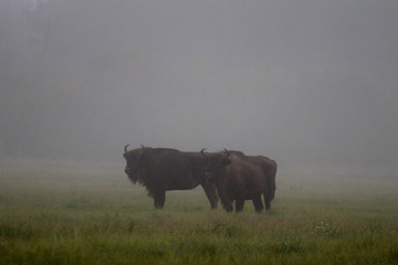 Photo sur Toile Buffalo European bison in the morning fog in the forest. Wildlife photography of wild animals in the forest. Plain in the middle of the primeval forest where bisons graze freely