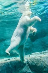 Printed roller blinds Polar bear Polar Bear (Also known as Thalarctos Maritimus