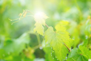 vine leaves, or grape leave