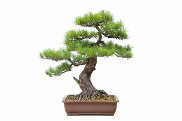 Foto op Plexiglas Bonsai green pine bonsai isolated