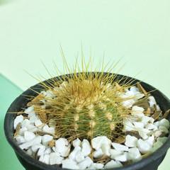 Long thorny cactus on pot, Succulent, Cacti, Cactaceae, Tree, Drought tolerant plant.
