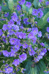 Geranium pratense plenum violaceum or meadow cranesbill purple flowers