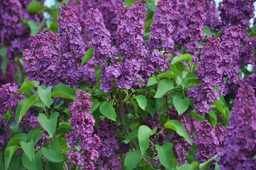 Keuken foto achterwand Lilac Lilac bush is purple