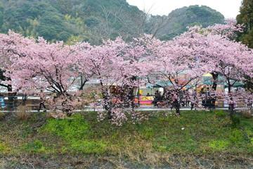 静岡県河津町の桜