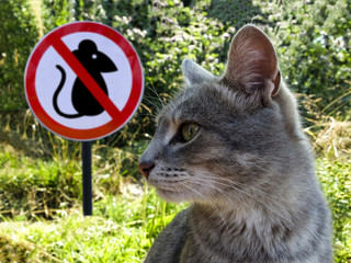 cat protects and preys on mice on the background of the sign prohibition of mice.
