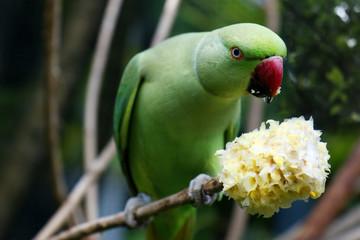 green parrot  eating fruit